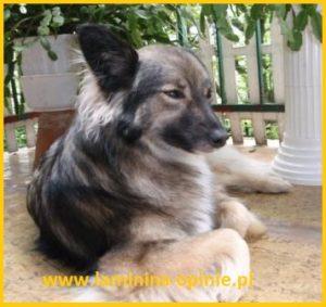 Efekty działania lamininy u psa - laminina-opinia