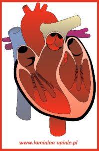jak ochronić własne serce - laminina opinie